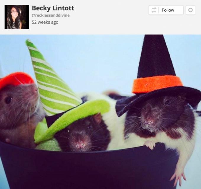 Rats in Halloween hats