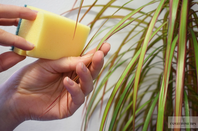 cleaning plants with a sponge