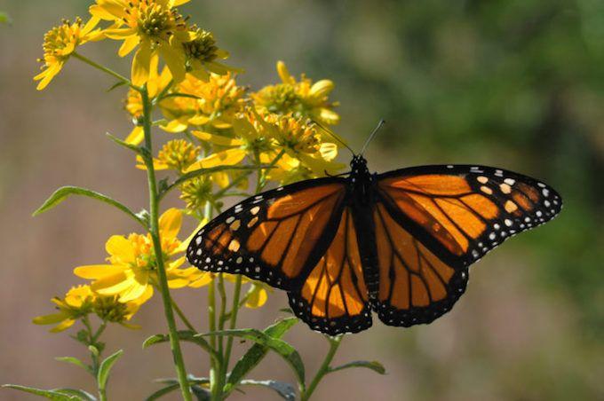 butterfly monarch yellow flower