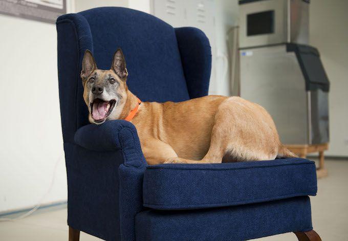 dog on armchair